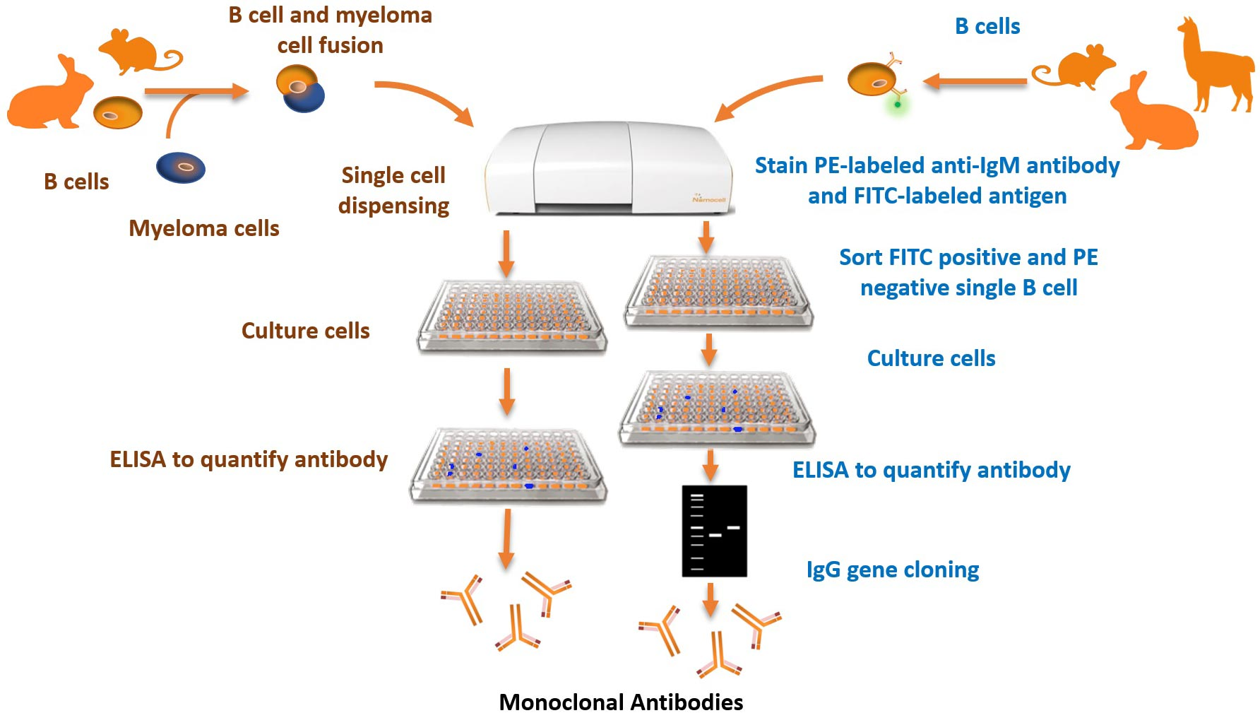 application of monoclonal and polyclonal antibodies